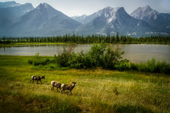 Outdoor Classic. A classic Canadian nature moment along the Yellowhead Highway between Jasper and HInton, Alberta Royalty Free Stock Images