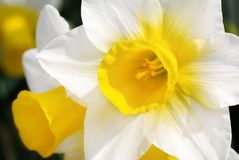 Bright daffodils in sunlight. Outdoor closeup of bright daffodils in the spring sun, with shallow focus stock photos