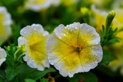 Outdoor color macro single yellow and violet flowering hibiscus blossom Royalty Free Stock Images