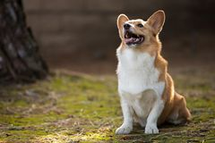 Outdoor Corgi Portrait In The Sunset stock images