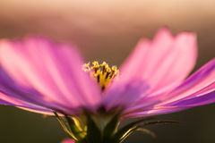 Outdoor Cosmos Flower Royalty Free Stock Photos