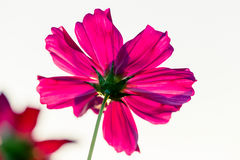 Outdoor Cosmos Flower Stock Image
