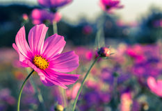 Outdoor Cosmos Flower Stock Photography