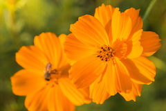 Outdoor Cosmos Flower Royalty Free Stock Photography