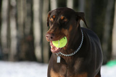 Outdoor Dog. Dog with tennis ball outdoors Royalty Free Stock Image