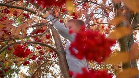 The child climbed a tree. He plays with Rowan berries and yellow leaves. Bright autumn Sunny day. Outdoor entertainment stock video footage