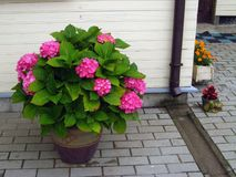 Outdoor flower pot. Flower pot on brick footpath near house wall Royalty Free Stock Image