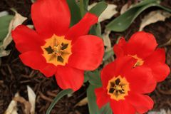 Outdoor garden with the Center of three open tulip flowers all red. Three tulip centers opened in a garden. Three red flowers With the stems and leaves showing royalty free stock photography