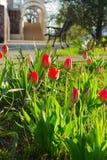 Outdoor Garden Tulips. A Spring garden full of flowers. Outdoor Garden Tulips Royalty Free Stock Photography
