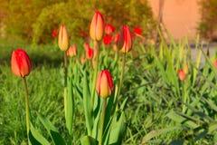 Outdoor Garden Tulips Stock Photos