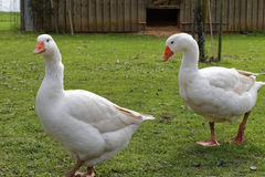Outdoor geese Stock Image