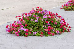 Outdoor. Geranium flowers on the flowerbed in the street pavement background Royalty Free Stock Images