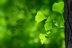 Outdoor ginkgo biloba leaves Stock Photography