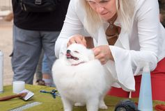 Outdoor grooming cute white Spitz dog. CANNOT VILLAGE, ISRAEL - APRIL 19, 2018: Outdoor grooming cute white Spitz dog royalty free stock photos