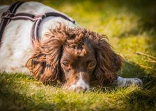 Outdoor happy dog portrait. Happy English Springer Spaniel pet dog portrait with an outdoor natural blurred bokeh background Royalty Free Stock Photos
