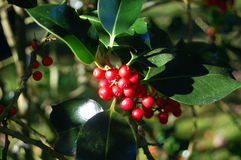 Outdoor holly bush Stock Images