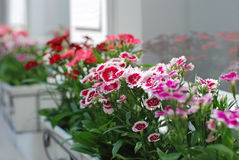 Outdoor Home Design 2. Outdoor Home Design with Dianthus Flowers Royalty Free Stock Photo
