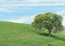 An outdoor lanscape of rolling green grass, an oaktree, and a blue sky with cloude. Stock Photo