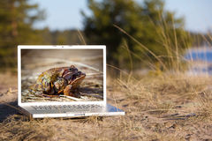 Outdoor laptop and mating frogs royalty free stock image