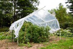 Outdoor legal marijuana grow. Plants underneath a home made plastic hoop house to protect the cannabis from too much rain. Cannabis series from seed to sale stock images