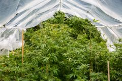 Outdoor legal marijuana grow. Plants underneath a home made plastic hoop house to protect the cannabis from too much rain. stock photo