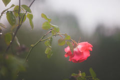 Outdoor living but drooping pink rose on rainy day. A pink rose on a rosebush in winter is getting rained upon.  Moody and hazy image is due to the rain Royalty Free Stock Image