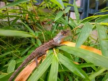 An outdoor lizard that lives on bamboo leaves. Outside, a lizard is perched on a bamboo leaf on the edge of a sidewalk Stock Image