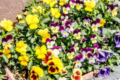 Outdoor Mall colorful pansies in New Mexico Stock Photo
