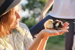 Outdoor mature woman farmer holding in hands two small newborn baby chickens stock images