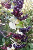 Outdoor mobile shot containing aronia chokeberry on a branch stock image