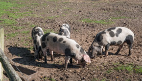 Outdoor pigs Stock Images