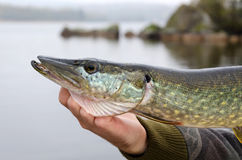 Outdoor pike portrait Stock Image