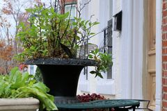 The outdoor plant. This potted plant in late fall Royalty Free Stock Images