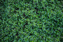 Outdoor plant textuer. Natural green Royalty Free Stock Photo