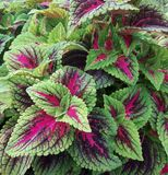 An outdoor planting of sun tolerant coleus. Colorful Coleus make a beautiful outdoor planting Royalty Free Stock Image