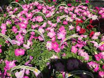 Outdoor plants and flowers on sale at a hardware store.  royalty free stock images