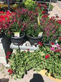 Outdoor plants and flowers on sale at a hardware store.  stock photos