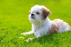 Cute Little Shih Tzu Dog lying on the grass. Outdoor Portrait of a adorable Shih Tzu Dog lying with a tennis ball on the grass royalty free stock photo