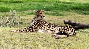 Outdoor portrait of African Cheetah wild cat resting on grass Royalty Free Stock Photos