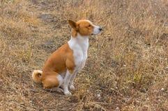 Outdoor portrait of Basenji dog Royalty Free Stock Image