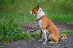 Outdoor portrait  of basenji dog sitting on the ground Stock Image