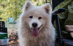 Outdoor portrait of cute smiling adult samoyed with tongue out. Outdoor portrait of cute adult samoyed with tongue out Stock Photos