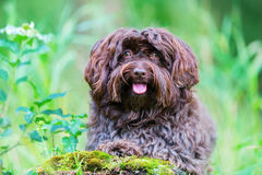 Portrait of a Havanese dog. Outdoor portrait of a cute Havanese dog Royalty Free Stock Image