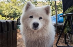 Outdoor portrait of cute smiling adult samoyed. Outdoor portrait of cute adult samoyed on sunny day Royalty Free Stock Photography