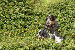 Outdoor portrait of english cocker spaniel Stock Photos