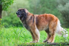 Outdoor portrait of a Leonberger dog. Who sits on a tree trunk Stock Images