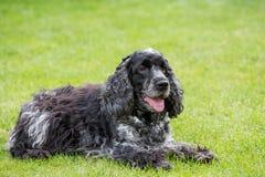 Outdoor portrait of lying english cocker spaniel. European champion, breeding station royalty free stock photos