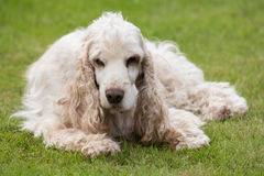 Outdoor portrait of lying english cocker spaniel Stock Photography