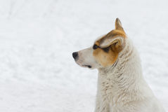 Outdoor portrait of mixed breed dog. Outdoor portrait of mixed breed, flap-eared street dog against white snow Royalty Free Stock Photography