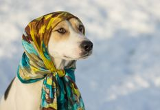 Portrait of mixed-breed dog wearing shawl at sunny winter day Stock Photography